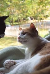 Otis, the diplomat (rootcrop54) Tags: otis dilute orange ginger tabby male cat window interaction tina tuxedo female macska kedi  koka kissa  kttur kucing gatto  kais kat katt katzen kot  maka maek kitteh chat