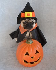 Boo The Witch Pug (DaPuglet) Tags: pug pugs dog dogs puppy puppies pet pets animal animals costume halloween witch pumpkin cape hat
