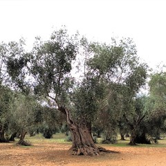 Ancient olive trees
