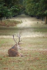 Stag in Chestnut Avenue (cdb41) Tags: bushy park richmond red deer stag chestnut avenue