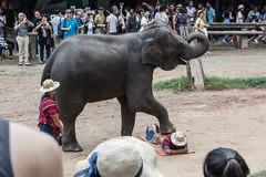 massage heavy (l e o j) Tags:        foot stepping heavy massage maesaelephantcamp maesa camp elephant canon eos kiss x2 rebel xsi 450d thailand chiang mai chiangmai travel