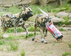 DSC_1441_edited-1s (Photos by Kathy) Tags: cincinnatizoo animals zoo zoos nature kathymoore nikon2000 dog africanwilddog africanpainteddogs canine
