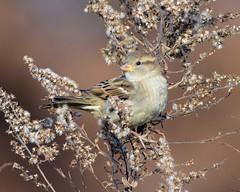 DSC_4475=1Sparrow (laurie.mccarty) Tags: birds avian sparrow nature nikond810 nikon lauriemccartyphotos bokeh birding