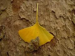 Ginkgo ...1 (alainpere407) Tags: alainpere paris romanticparis gingkobiloba leaf feuille parcmontsouris vividstriking