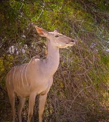 Female Greater Kudu (Harold Brown) Tags: canonpowershotsx60hs flowersplants haroldbrown krugernationalpark krugerpark kudu lowersabie mammals mpumalanga outdoor plant republic southafrica tree wildlife bhagavideocom haroldbrowncom harolddashbrowncom photosbhagavideocom