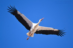 In Flight Cegonha-branca / White Stork (Ciconia ciconia) (Mark & Cy Photos) Tags: action activity angle animal animalia beast bird blue bottom ciconia ciconiiformes composition crafts detail environmental exterior feather flying focus format frame framing freeze genre horizontal landscape life light lighting motion natural orientation outdoor photo photography setting shot sky skyline spam stork storks style time travel view weather white wild wildlife wing worldartscraftsphotographysettingskylineexterioroutdoorphotogenrestyletypewildlifetravelorientationlandscapemotionactionshotfreezeframelightingnaturallightframingcompositionenvironmentaldetailformathorizontalfocusangleview