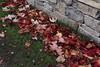 Parthenocissus tricuspidata (esta_ahi) Tags: lleida parthenocissus tricuspidata parthenocissustricuspidata vitaceae parravirgen fulles hojas trepadora red lametlladesegarra segarra lérida spain españa испания lasegarra hojarasca hojassecas otoño