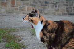 The SCREAM! (Maria Godfrida) Tags: fauna animals cats animal cat scream 7dwf