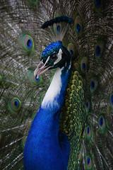 Peacock @ Landgoed Hoenderdaell 21-05-201 (Maxime de Boer) Tags: peacock pauw bird vogel landgoed hoenderdaell anna paulowna zoo animals dieren dierentuin gods creation
