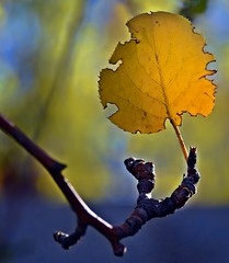Fan-tastic! (A Lovely Autumn Day!!!) Tags: macromondays leaf yellow backlit branch holding background light shadow
