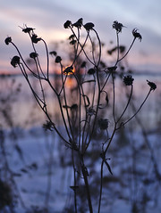 Tanacetum vulgare (pikkuanna) Tags: oulu 2016 lumi snow ilta night meri sea ranta shore