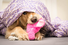 Holle im Bett (Martin Schmidt (www.schmaidt.de)) Tags: 2016 bett dog holle hund hunde hundefotografie martin martinschmidt menschen oktober schmidt animal animalphotography bed dogphotography dogs schmaidt schmaidtde