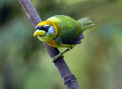 IMG_2097 Red-headed Barbet (female) (suebmtl) Tags: bird ecuador redheadedbarbet eubuccobourcierii mindo lindomindo