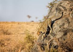 Cheetah Leaving Kopje (David Ramirez Photography) Tags: africa serengeti serengetinorth tanzania kopje cheetah