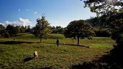 The Return (Franco Vannini) Tags: madonnadelfaggio tuscany toscana beech oak faggio quercia autunno goldenretrievers
