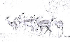 ..and then, the camera broke! (me*voil) Tags: namibia wildlife impala herd overexposed nikfilter etosha
