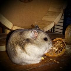 Sawyer the hamster (FranTravelStories) Tags: sawyer hamster criceto pet animal hairy
