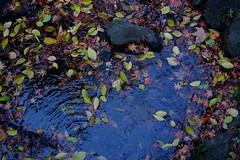 Leaves (Minami45) Tags: xpro1 fujifilm xf35mm autumn fall japanesemaple leaf japan tokyo