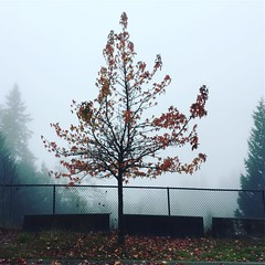 Bone Autumn. #tree #vancouver #leaves #autumn #fog