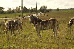 Fall in the Country (D & E Grey Wolf Photography) Tags: horse equine fall coldwater ontario