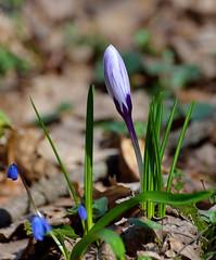 Crocus. (Gudkov A) Tags:        primrose springtime verdure coolness slightfrosts