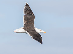 Great Black Backed Gull #2 (scilly puffin) Tags: larus gull islesofscilly