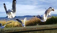 144. SEAGULLS: Lunge After The Flying Food (www.YouTube.com/PhotographyPassions) Tags: seagulls gulls birds gullsfeeding feedinggulls beach shoreline seaside sky water ocean outdoor food fly flying waterfowl seabirds