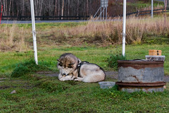 Border (Alexander Pugatschewski) Tags: kirkenes norway russia thenorth theborder flag flagpole road nature nameplate stand landscape litter dog pine spruce tree grass sky cloud cloudy autumn travel photography malamute house post wire bowl pet food bones chain drum box