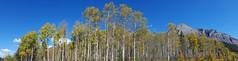 aspen panorama (Simple_Sight) Tags: aspen trees espen bäume canada alberta fall herbst panorama outdoors ngc