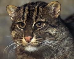 fishing cat Blijdorp JN6A6921 (j.a.kok) Tags: cat kat vissendekat fishingcat blijdorp mammal zoogdier predator azie asia
