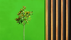 Juxtaposition (judith511) Tags: odc juxtoposition wall tree timber green contrast bright