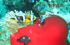 sponge with anemone (Carpe Feline) Tags: carpefeline mauritius scubadiving ocean reefs morayeels anemonefish scorpionfish lionfish arrowcrab nudibranch needlefish underwater
