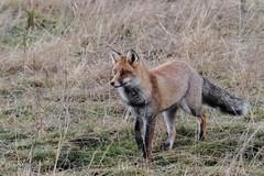 Renard roux en chasse  la nuit tombante (12800 ISO - f/8 - 1/160s) (sfrancois73) Tags: mammifre renardroux faune