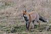 Renard roux en chasse à la nuit tombante (12800 ISO - f/8 - 1/160s) (sfrancois73) Tags: mammifère renardroux faune