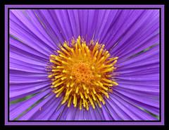 Soleil d'Aster / EXPLORE du 23/11  la place 108. THANKS (Kermitfrog Nouveau look ;-)) Tags: aster fleur fleurs coeur soleil jardin jardindessciences dijon ctedor bourgogne
