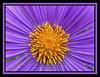 Soleil d'Aster / EXPLORE du 23/11 à la place 108. THANKS (Kermitfrog Nouveau look ;-)) Tags: aster fleur fleurs coeur soleil jardin jardindessciences dijon côtedor bourgogne