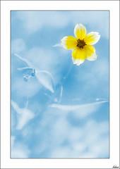 Cielo soleado (V- strom) Tags: naturaleza concepto flor texturas nikon nikon2470 macros azul amarillo flora