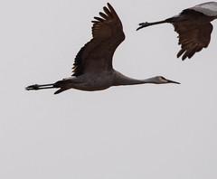 Sandhill Crane (rpennington9) Tags: bird birds cranes sandhillcranes nikon nikond90 sigma150600mmlens tennessee birchwood hiwasseewildliferefugearea