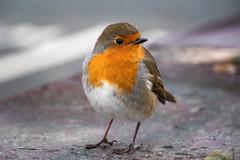 Robin Goch (Howie Mudge LRPS) Tags: animal bird nature wildlife robin robingoch redbreast outside outdoors pretty cute chubby sweet winter panasonicdmcgx80 lumix microfourthirds m43 mft compactsystemcamera mirrorlesscamera lumixgvario14140f3556