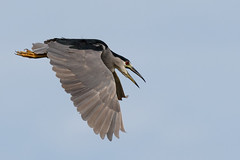 Watch out!! Here I come!! ~ Black-crowned Night Heron (Nycticorax nycticorax) (s_uddin59) Tags: blackcrownednightheron nighheron heron kahuku kahukushrimpponds kahukuaquaponds oahu northshore hawaii birdinflight nycticoraxnycticorax