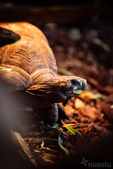 Cautious Tortoise (Nuzulu) Tags: tortoise hausdemeeres vienna austria fauna shell wrinkles neck