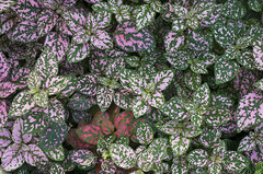 Speckled Leaves (s.d.sea) Tags: leaves speckles plant nature green pink plants chicago botanic garden autumn fall texture scene pentax k5iis illinois enjoyillinois midwest northshore
