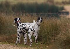 Dog-0894 (Kulama) Tags: dog animals nature walk autumn autumncolours canon7d sigma150600c563