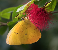 A spot of light 2... (Glenn van Windt) Tags: phoebisphilea lepidopterarhopalocera butterfly vlinder tropicalbutterfly butterflygarden vlindertuin artiszoo insect macro closeup orangebarredsulphurbutterfly sigma180mm128apomacrodghsm