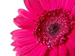 Gerbera 15/52 (carongill87) Tags: pink detail macro closeup spring gerbera pinkgerbera