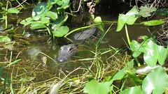 American Alligator (Jim Mullhaupt) Tags: water flickr florida alligator swamp everglades mullhaupt jimmullhaupt