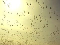 O sOleil..O sUn.. (Amiela40) Tags: sun yellow jaune soleil fly geese flight oies pleinsoleil envole flickrunitedaward lemondemerveilleuxdelaphoto