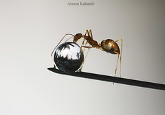 Aroon Kalandy Ant and Drops....... (aroon_kalandy) Tags: macro drops bravo sony ant refraction antics waterdrops tamron calicut aroonkalandy