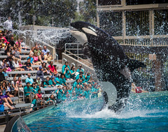2012 Shamu the Orca (18) (maskirovka77) Tags: whale orca trick splash killerwhale stunt orcinusorca soakzone whaleshow