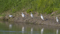 Little Egrets (Egretta garzetta) (Panayotis1) Tags: birds canon aves greece animalia ardeidae littleegret egrettagarzetta ciconiiformes chordata canonef400mmf56lusm imathia πουλιά ημαθία λευκοτσικνιάσ τάφροσ66 tafros66 kenkopro300afdgx14x